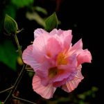 100pcs Mixture Color Hibiscus Mutabilis Seeds Garden Courtyard Annual Herb Plant