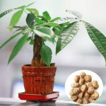 1pcs Pachira Macrocarpa Seeds Garden Office Money Tree Bonsai Potted Plant