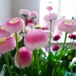 Egrow 200Pcs Strawberry Ice Cream Little Daisy Seeds Bonsai Plants Seeds for Home Garden