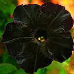 Egrow 100Pcs Black Petunia Seeds Rare Bonsai Flower Seeds Annual Bonsai Petunia