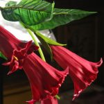 100Pcs Mix Color Datura Flower Seeds Dwarf Brugmansia Angel's Trumpets Bonsai Seed Home Garden