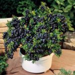Egrow 30Pcs Blueberry Seeds Garden Edible Fruit Bonsai Plant Indoor Outdoor Delicious Plant