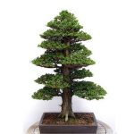20Pcs Japanese Cedar Semillas Bonsai Seeds Rare Tree Seeds for Home Garden