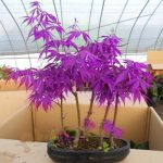 Egrow 30Pcs Purple Maple Seeds Rare Color Beautiful Purple Ghost Bonsai Plants Trees