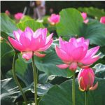 10pcs Red Bowl Lotus Seeds Garden Hydroponics Flower