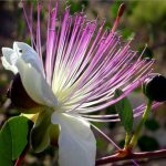 10pcs European Capparis Spinosa Seed Spice Plant