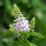 30pcs Mentha Spicata Spearmint Seeds Perennial Flower