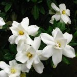 50pcs Garden White Gardenia Seeds Outdoor Fragrant Flowers
