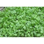 100PCS Vanilla Parsley Coriander Seeds Garden Vegetable Seeds