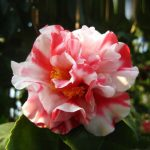 1 Pcs Mix Color Camellia Seeds Flower Seeds Diy Potted Plants Indoor Outdoor Color Camellia Seeds