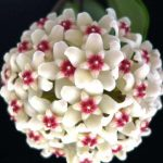 100Pcs Hoya Seeds Ball Orchid Seeds Rare Bonsai Flower Seeds Garden Natural Growth Plant