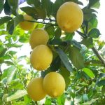 50pcs Garden Lemon Tree Citrus Limon Seeds Courtyard Heliophile DIY Potted Plant